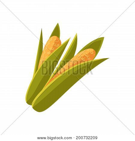 Couple of cartoon style ripe corn cobs, ears with green leaves, vector illustration isolated on white background. Two cartoon style cobs, ears of corn crop, farm product