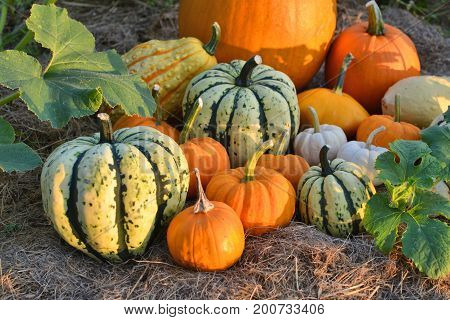 Pumpkins And Sqashes