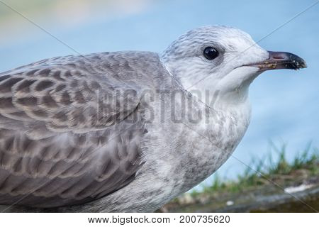 Closeup of a young white and gray sea gull with food on its beak