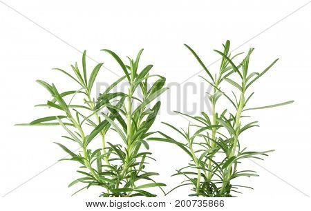 Fresh rosemary leaves on white background