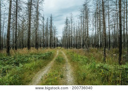 Dirt road running through a large area of dead trees the forest have been ravaged by a large forest fire
