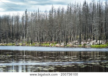 Forest with dead black trees ravaged by a forest fire in Sweden