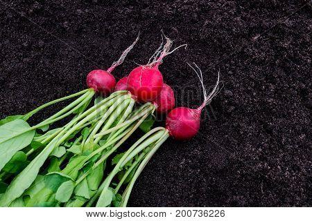 Freshly harvested radish on dark garden soil background