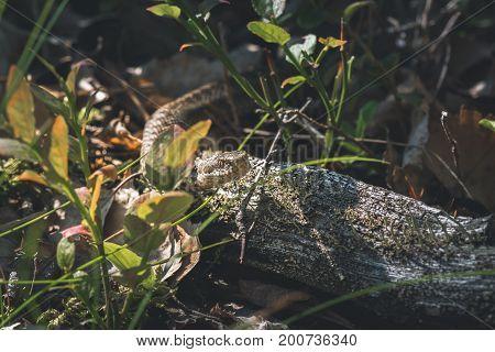 Swedish Viper ot adder snake crawling in the bush with sunshine on its head