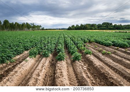 Large potato field with endless rows of potato plants.