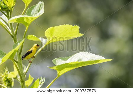 American Goldfinch (Spinus tristis) perched on a sunflower