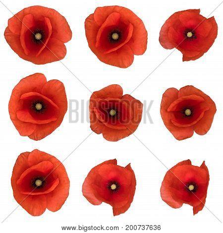 9 pcs of opium poppy blossom isolated.