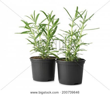 Green rosemary plant in pots on white background