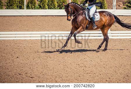 Dressage horse and rider. Brown chestnut horse portrait during dressage competition. Advanced dressage test. Copy space.