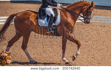 Dressage horse and rider. Brown chestnut horse portrait during dressage competition. Advanced dressage test.