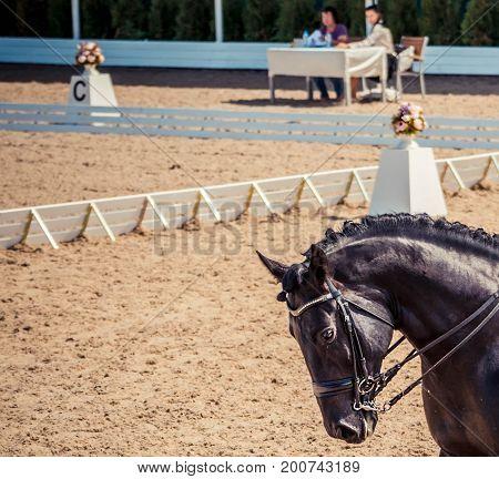 Dressage horse. Black horse portrait during dressage competition. Advanced dressage test. Copy space for your text.