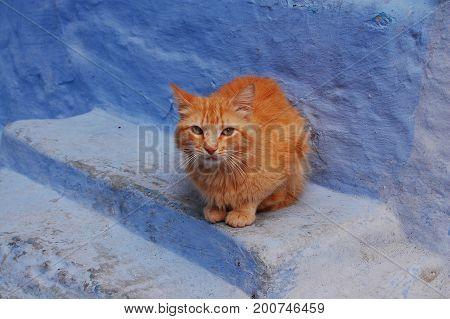Cat in Morocco, Chefchaouen Chaouen (blue city)