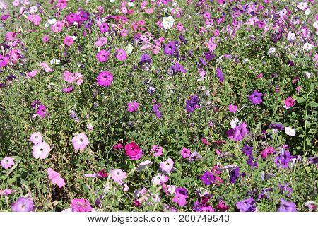 Pink Petunia In The Garden