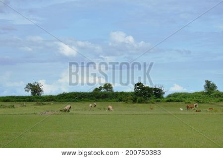 cow feeding grass on field in Thailand countryside