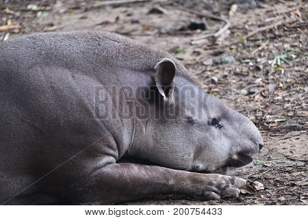 Closeup image of a Brazil tapir lying down and sleeping on the ground