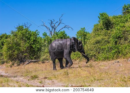 The concept of exotic tourism. Fascinating journey to Africa. Watering large animals in the Okavango Delta, Chobe National Park. Elephant - single