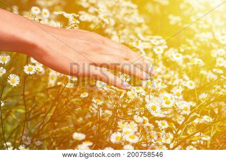 Girl Stoke field with daisies. The concept of unity with nature, purity of nature.