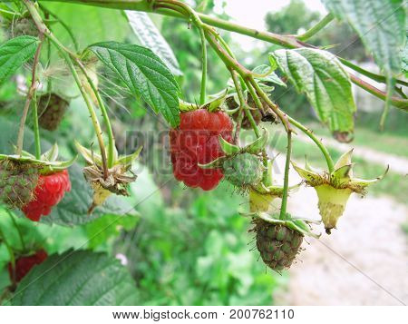 Branch of raspberries in a summer garden