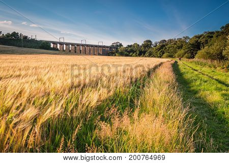 Barley Crop along River Aln Walk, golden in colour, below the railway viaduct at Lesbury, as the River Aln approaches the North Sea at Alnmouth poster