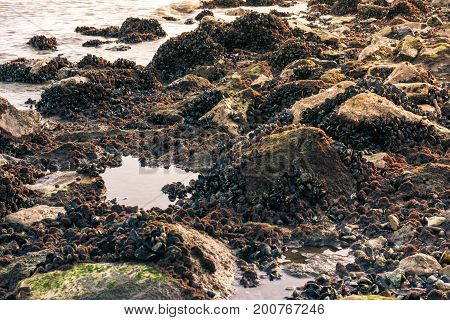 Rocky Shoreline with Muscles and Barnacles Lower Area Dense Growth Ocean