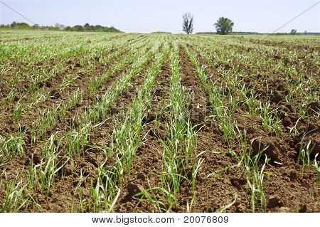 Shoots Of Wheat In A Small Field