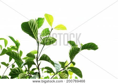 Leech Lime Leaf Tree Isolated On White