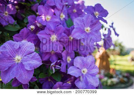 bush blooming klimatis in the sky In the park garden