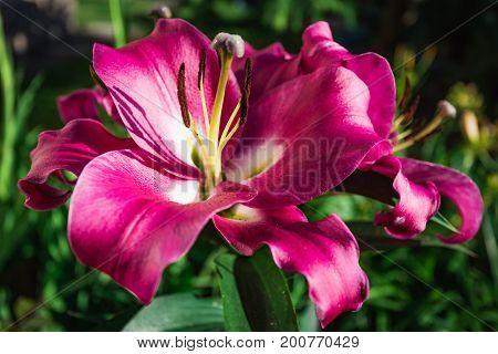 Flowering Bush Lily