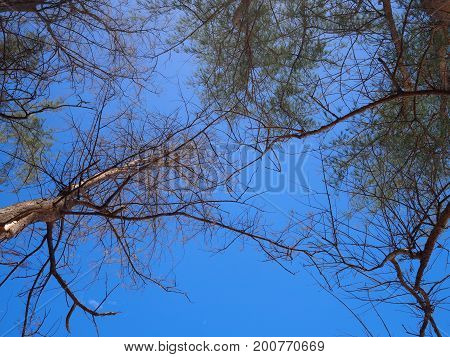 Fresh green pine tree and dry tree reaching towards blue sky. View from ground up.