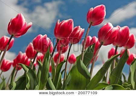 Red and White Tulips in a blue sky