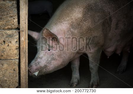 Foaming At The Mouth Of A Pig That Is Angry That They Want To Take Away The Pigs