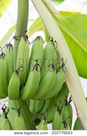 Close up green Raw Bananas. Young green banana on tree. Unripe bananas close up.