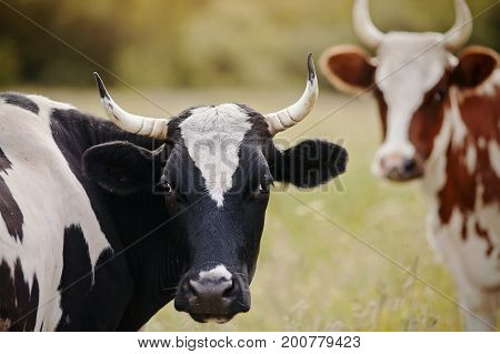 Portraits of two cows on a pasture.