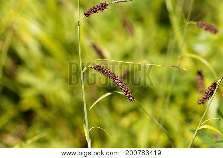 Flower head of a blue sedge (Carex flacca)