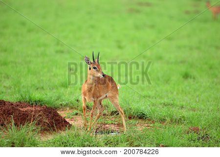 Dik-dik. Murchison Falls National Park, Uganda