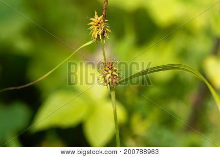 Flower head of a Yellow sedge (Carex lepidocarpa)