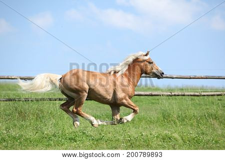 Amazing Haflinger Running On Pasturage