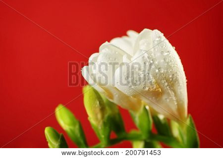 Branch of beautiful freesia flowers on red background, closeup