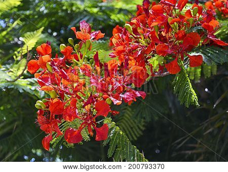 Flamboyant tree flowers (Royal Poinciana,Delonix regia,Flame tree) in tropical park of Tenerife,Canary Islands,Spain.Selective focus.
