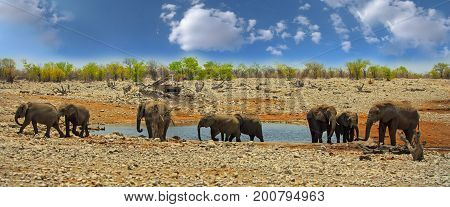 Panorama of a Herd of elephants (Africana Loxodonta) standing next to a waterhole in Etosha National Park with a bushveld and blue cloudy sky background. Namibia Southern Africa