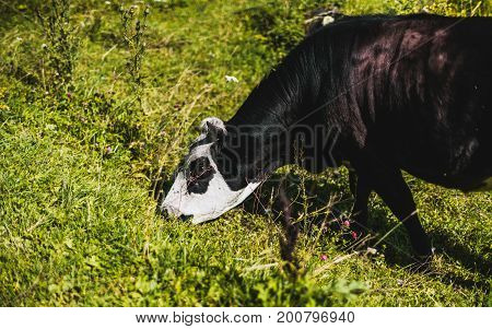 Black cow with white head is eating grass on meadow in Altai mountains; close-up view of young bull pasturing on green glade with native grasses and flowers with copy space for text logo or advert