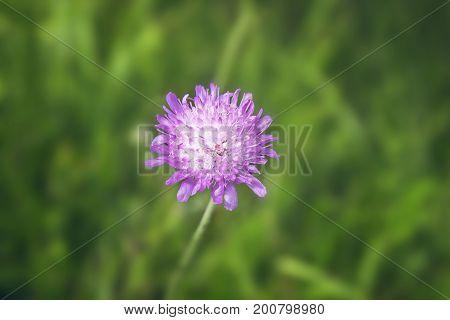 Fresh purple flower in the grass on a meadow.