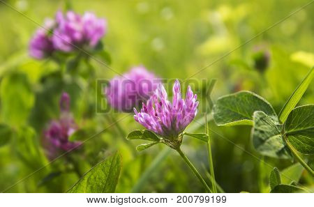 Fresh purple clover in the grass on a meadow.