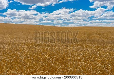 Summer landscape with blue sky white clouds and ripe wheat fields