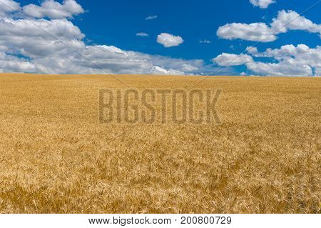 July landscape with blue sky white clouds and ripe wheat fields near Dnipro city central Ukraine