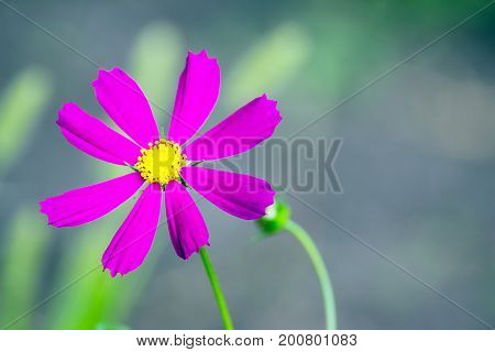 A Mexican aster flower or Cosmos in the garden