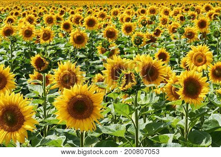 Field of bright sunflowers leaving into the distance. Nature background.