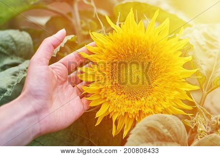 The girl with her hands hugs the sunny sunflower. The concept of domestic cultivation, unity with nature, the gifts of nature.