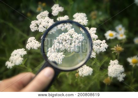 hand holding magnifying glass to white yarrow on a field
