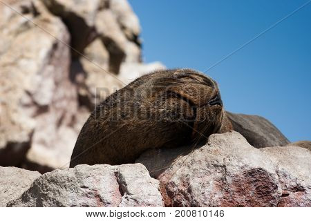 Sea lion sleeping in Islas Ballestas, Peru